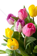 fresh tulips isolated on white (ganaflow8877) Tags: pink plant flower floral beautiful beauty yellow vertical easter season photography leaf spring stem colorful natural blossom seasonal group decoration objects fresh petal whitebackground tulip bloom studioshot bouquet bulbous organic copyspace abundance freshness perennial tulipa fragrance aroma flowerhead blankspace flowerpetal colorimage fragility