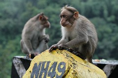 NH 49 (Luc1659) Tags: monkey scimmia thegalaxy indiadelsud mygearandme mygearandmepremium flickrstruereflectionlevel1 rememberthatmomentlevel1 me2youphotographylevel1 nationalhighwayno49