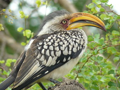 Flying bananas (cincde82012) Tags: africa park bird south national za birdwatching kruger limpopo toco sudafrica ocell yellowbilledhornbill calau tockusflavirostris picoamarillo buceròtids becgroc
