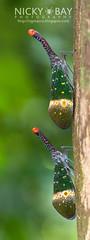 Lantern Bug (Pyrops pyrorhynchus) - DSC_4265 (nickybay) Tags: macro peninsularmalaysia lanternbug lanternfly pyrops laternaria pyrorhyncha pyrorhynchus