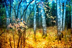 Fall, Novosibirsk, Russia (jev) Tags: leica plants tree fall mushroom russia rangefinder siberia birch noctilux novosibirsk asph осень береза autemn nocti 06000000 06007000 leicam9 noctiluxm50mmf095asph leicaimages