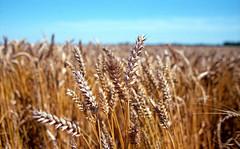 Untitled (Bas Tempelman) Tags: summer field nc corn kodak wheat grain cereal zomer epson bas portra praktica loon 160 graan v500 mtl5b tempelman