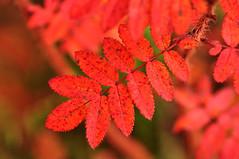 Red (totheforest) Tags: autumn red fall sweden autumnleaves autumncolors hst plena rd finlandsvitaros norrbotten hstfrger hstlv nikond90 rosaspinosissima pimpinellros junosuando nikkorafsdx18105mmf3556gedvr fylldpimpnellros