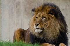 Lion King (Reggie Bishop) Tags: park 120 nature zoo dc washington nikon african connecticut district natureza luke lion sigma columbia again national 400 blink avenue woodley d7000 mygearandme ringexcellence blinkagain dblringexcellence bestofblinkwinners bewiahn