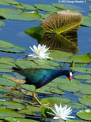 Purple Gallinule, Lacassine Wildlife Preserve, Louisiana (Image Hunter 1 (This Week Catching Up!!)) Tags: flower reflection green feet nature water birds louisiana lily legs feeding lotus blossom hunting beak pad bayou swamp underside bloom greenery iridescent marsh veins lilypad wildlifepreserve purplegallinule lacassine canoneos7d birdslouisiana magicunicornverybest