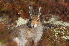 Cairngorm National Park - Mountain Hare (Lepus timidus) 3197 (Highland Andy (Andy Howard)) Tags: mountain nature scotland hare wildlife highland cairngorm cairngormnationalpark mountainhare lepustimidus canon7d canon500f4l highlandnatureimages