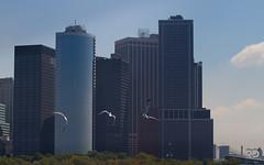 Birds flying high (Raph/D) Tags: park new york city nyc newyorkcity sea usa ny newyork bird statue ferry skyline america skyscraper liberty island eos bay us flying high ellis manhattan seagull battery tip 7d end