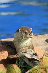European/Eurasian Otter (Lutra lutra) (SteveRotherPhotography) Tags: nature animal animals mammal coast wildlife coastal devon otter torquay otters lutralutra livingcoast europeanotter eurasianotter