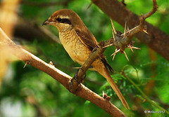Brown Shrike (McGun) Tags: brown india bird nikon chennai shrike brownshrike 70200mmf28 kottivakkam