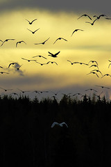 Late goodbye (Toni es Bueno) Tags: nature birds silhouette contrast suomi finland geese moving swan nikon sundown goose tamron canadagoose canadageese d3100