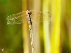 lunchbreak (Balzs Kiss) Tags: insect dragonfly panasonic balaton rovar szitakt microfourthirds panasonicg2