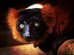 Red ruffed lemur (rogueslr) Tags: red photoshop canon zoo leicestershire lemur rubra twycross ruffed 50d leics cs5 varecia