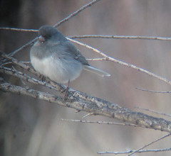 White-winged Junco, Avalon Lake near Carlsbad, NM