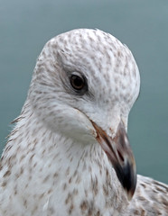 That gull again (Tim Green aka atoach) Tags: cornwall gull falmouth
