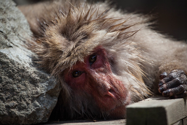 Yudunaka Snow Monkey