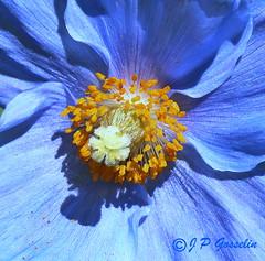 REFORD GARDENS   |      EMBLEM  |   |     BLUE POPPY   |  PAVOT BLEU          |     REFORD GARDENS  |      LES JARDINS DE METIS  |  METIS   |  GASPESIE  |  QUEBEC  |  CANADA (J.P. Gosselin) Tags: blue canada gardens les canon de eos rebel quebec mark bleu ii 7d poppy canoneos jardins metis gaspesie | markii pavot reford t2i geo:country=canada eos7d canoneos7d canon7d canoneosrebelt2i 7dmarkii geo:region=quebec ph:camera=canon canon7dmarkii