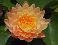 Beautiful Lotus Flower (Joybelle007) Tags: orange flower nature beautiful yellow petals nikon lotus impressed d80 impressedbeauty impressedbyyourbeauty bybeauty