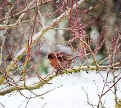 Fluffed up (tad2106 - Trudie Davidson Photography) Tags: winter snow bird nature weather birds female wildlife day18 blackbird britishwildlife gardenbirds day18365 3652013 2013yip 365the2013edition 18jan13