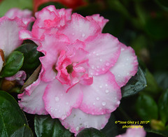 Pink special Flowers Water drops (Pepe (ADM)) Tags: pink flowers flower nature water drops flor special fiori waterdrops pinkflowers fleure