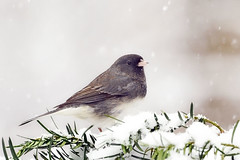 Dark-eyed Junco (affinity579) Tags: winter wild portrait white snow black bird nature closeup nikon quebec wildlife junco small profile darkeyedjunco 70200mm 2xteleconverter specanimal d700