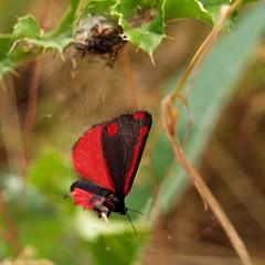 Five Spot Burnet (Zygaena trifolii) (saxonfenken) Tags: insect dof bokeh moth redandblack fivespotburnet 7022 zygaenatrifolii pregamewinner 7022but