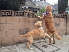 Dog haiku 3 (mockstar) Tags: dogs puppy losangeles davidpoe desanimaux goldenretreiever