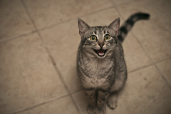 26:365 Overly Excited Cat (Erich Leeth) Tags: cats silly macro face cat nikon kitten funny famous meme meow 365 memes babycat d800 105mm project365 sb900