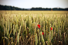 red. (angsthase.) Tags: blur green field germany deutschland weeds bokeh poppy nrw grn dailylife friday ruhrgebiet dortmund freitag 2012 ruhrpott mft micro43 olympuspenepl1 olympusm45mmf18