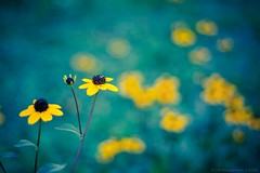 Beauty in-Focus (icemanphotos) Tags: flowers blue flower color beauty yellow focus bokeh vibrant fresh icemanphotos
