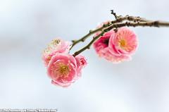 Schabarum Park (Kimihiro-kun) Tags: california park blossom plum rowlandheights schabarum
