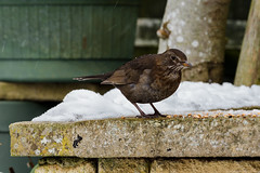 Winter blackbird (Jim Mead) Tags: winter brown snow cold bird ice female snowy snowing hungry icy turdusmerula blackbird eurasianblackbird beadyeye tmerula