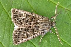 2178-DSCN1068 Feathered Gothic (Tholera decimalis) (ajmatthehiddenhouse) Tags: kent uk 2012 stmargaretsatcliffe garden moth featheredgothic tholeradecimalis tholera decimalis noctuidae hadeninae