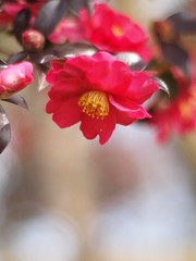 (Polotaro) Tags: gzuiko50mmf14 flower nature olympus ep1 pen     zuiko    camellia sasanqua