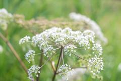 Am Wegrand (balu51) Tags: morgenspaziergang wald waldweg blume wildblume weiss grn morningwalk forest flower wildflower white green summer juli 2016 copyrightbybalu51