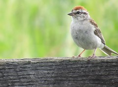 Chipping Sparrow (Linda in Namibia) Tags: uppervillevirginia birds