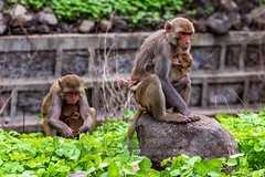 Mother's love and care (Raj's Photographic Illustrations) Tags: bagirathipur telangana india in monkey mothers love animal