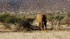 The African Savannah (Susan Roehl - Offline) Tags: kenya2015 samburunationalreserve kenya eastafrica elephant mammal outdoors savannah sueroehl photographictours naturalexposures panasonic lumixdmcgh4 100300mmlens ngc