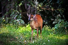 Red forest duiker - the small antelope (Photography by Eric Hentze) Tags: nikon nikond7100 d7100 outdoor itsazoooutthere germany deutschland sachsen saxony leipzig zooleipzig zoo animal erichentze animalphotography tier tierfotografie animale sugetier nature mammal color natalrotducker rotducker paarhufer natalredduiker smallantelope antelope redforestduiker red natur animalplanet