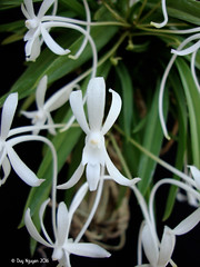 Neofinetia falcata 'Ori Gem' (Dylan's Orchids) Tags: neofinetia falcata ori gem orchid