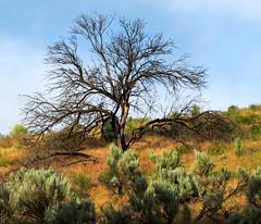 Dead Tree in the Desert (maytag97) Tags: maytag97 deadtree junipertree desert dry sagebrush