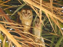 Barn Owls-pv (3) (gskipperii) Tags: owl owls finally barnowls hunters predators raptors palmtree indianfanpalm losangeles palosverdes luck lifer stumbledupon animal outdoor wildlife amazing pretty unique