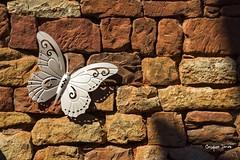 Une espce rare de papillon ! (Jacques Isner) Tags: collonge prigord pentax pentaxart pentaxflickraward pentaxsmc pentaxk1 k1