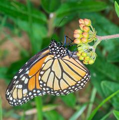 Monarch #2 (ScreaminScott) Tags: butterfly monarch butterflyweed