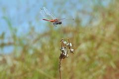 affioraggio (conteluigi66) Tags: libellula fiore secco volo volare fly luigiconte