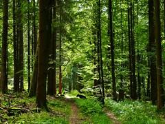 Wald bei Beuchen (zikade) Tags: ambeuchenerberg beuchen amorbach mischwald stadtwald odenwald buchenwald lulu graff hunde hundeimwald