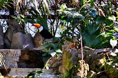 Tucn (maiklopes) Tags: argentina temaikn temaiken escobar zoo nature natureza naturaleza animals animal bird pssaro ave pjaro tucano tucn toucan