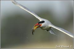 To be a bird (Earl Reinink) Tags: fish fishing sunfish tern caspiantern earl reinink earlreinink nikon nikond5 niagara naturephotography etuaiazdra