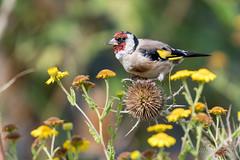 DSL_5789 (alaing40_photos) Tags: oiseaux chardonneret