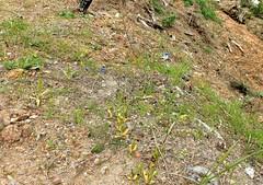 Ophrys speculum; Orchidaceae (4) (pflanzenflsterer) Tags: orchidaceae ragwurz andalusien spanien 6petals afrika nordafrika albanien algerien balkan blau europa frankreich geophyt griechenland iberien knollenpflanze korsika laubwerfend libyen macchie marokko mittelmeer orchidoideae portugal staude tunesien trkei turkey vorderasien winterregen zygomorph
