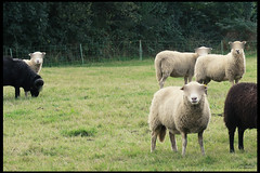 anonymous lambs (ooka medias - 1 Million views : TY !) Tags: france brittany lamb anonymous